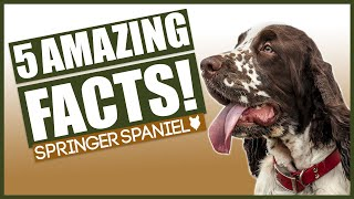 SPRINGER SPANIELS! Top 5 Incredible Facts About The Springer Spaniels!