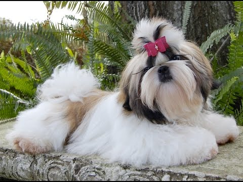 TOP 10 CUTEST SHIH TZU DOG OF ALL TIME COMPILATION 2016