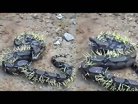 Thumbnail: Giant Snake Fights a Porcupine