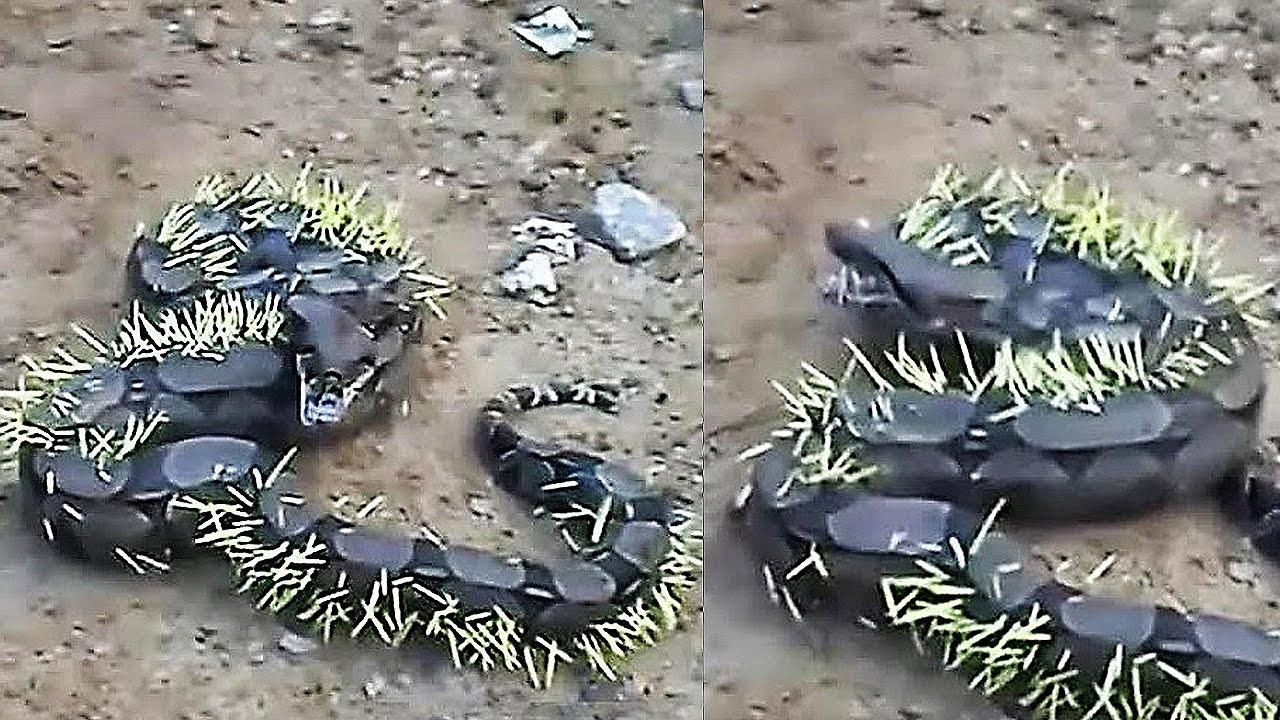 giant-snake-fights-a-porcupine