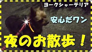 【ヨークシャーテリア 夜のお散歩】初めての夜散歩!秘密兵器で?怖くなかったワン!【Yorkshire Terrier Walk at night】 thumbnail