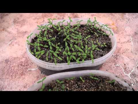 Как посеять и вырастить бархатцы,бархотку из семян-всходы.