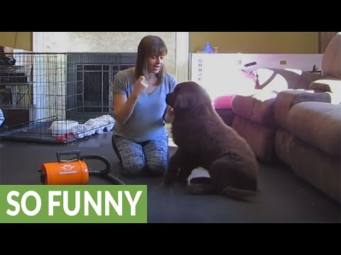 Newfoundland puppy hates dryer, turns it off