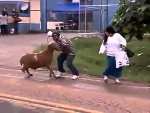 Herkese saldıran çılgın keçi