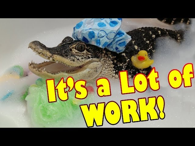 What it's Like to Have a Pet Alligator