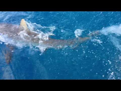 North Minerva Grey Sharks