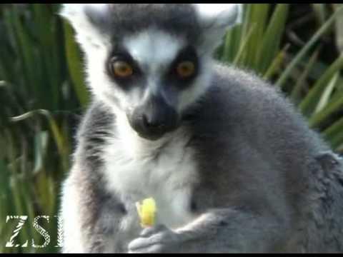Cute ringtailed lemur eating
