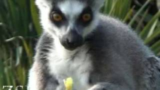 Cute ringtailed lemur eating http://www.zsl.org Really cute footage of ringtailed lemurs eating at ZSL Whipsnade Zoo
