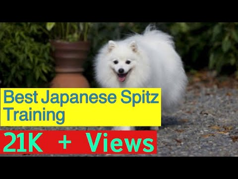 Japanese Spitz Complete training |tips and tricks|