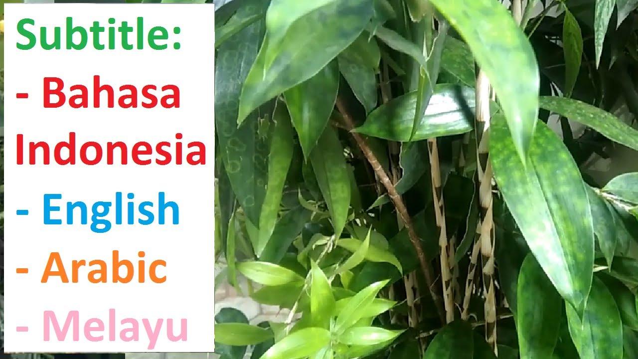 Bambu Jepang Dracaena Green Tanaman Hias Daun Hijau Batang Beruas Youtube