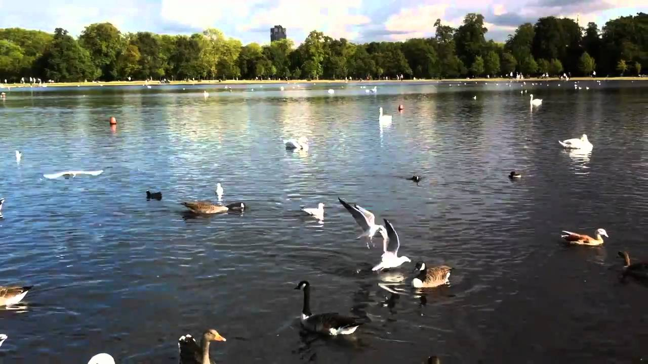 swans and ducks at round pond of hyde park in london youtube. Black Bedroom Furniture Sets. Home Design Ideas