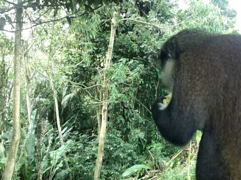 Grenadian wild monkey