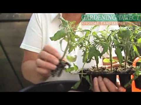 How To Plant A Tomato Hanging Basket
