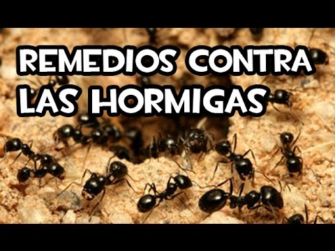Remedios contra las hormigas caseros youtube - Remedio natural contra hormigas ...