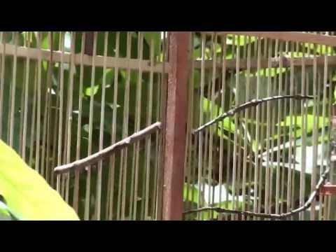Bẫy chim khuyên tại sân nhà