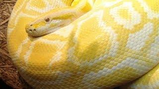 Cobra Python Um animal de Estimação