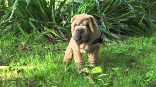 Sharpei Pup Isabel Colour 9 Weeks Old