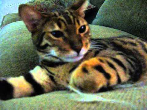 Miniature Tiger Cat