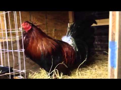OSCAR AKINS GREEN LEG MCLEAN HATCH BROOD PAIR | FunnyCat TV