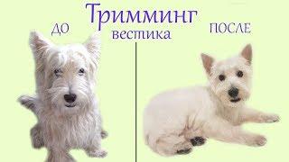 Второй тримминг нашего Вестика Хайленд Уайт Терьера Корм Brit Trimming West Highland White Terrier
