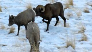 Repeat youtube video Bighorn Ram in Love