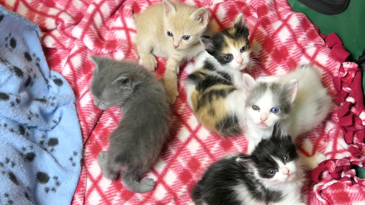 Japanese Bobtail Kittens 4k Eyes are open!!!! - YouTube
