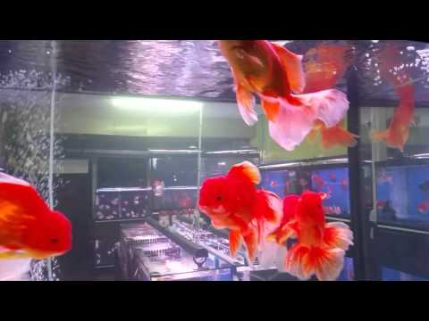 GoldFish Aquarium Tank At Jatujak Weekend Market, Thailand