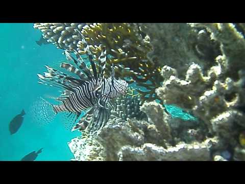Pterois Volitans (Red Lionfish) In Its Natural Habitat In The Red Sea