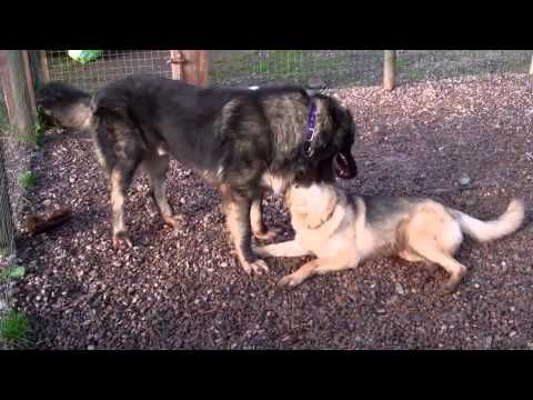 Azer The Caucasian Shepherd Dog Meets Molly Moo German