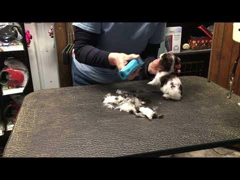 Stella's miniature schnauzers getting hair cuts