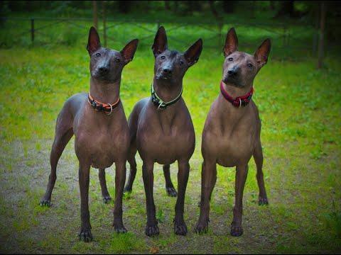 Порода Ксолоитцкуинтли или мексиканская голая собака.