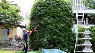 キンモクセイ(高い樹木)の枝を切り、形を整え、風通しを良くする刈込...