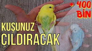 Muhabbet Kuşu Çağırma Sesi.♫ KUŞUNUZ ÇILDIRACAK ! Muhabbet Kuşu.