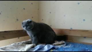 Шотландский кот злится-боится