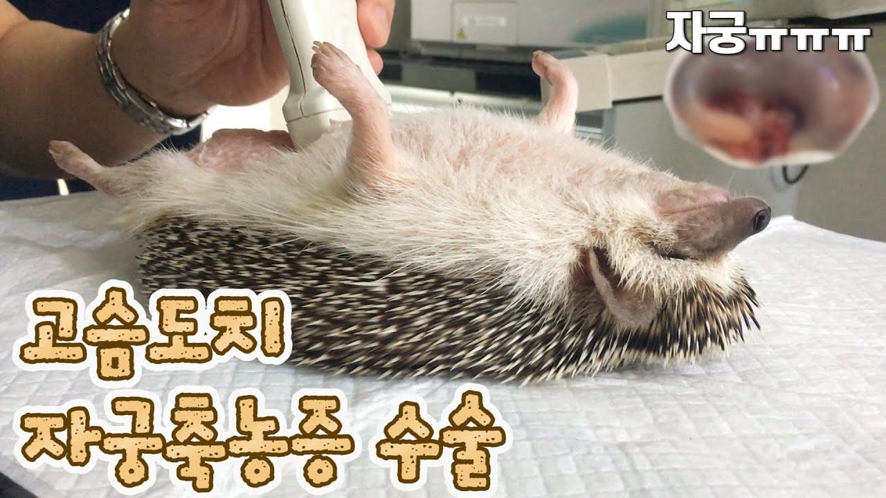 고슴도치 루비 자궁축농증 수술 했습니다. : 병원비 무섭다..