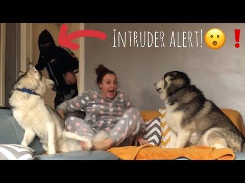 Burglar PRANK on my Huskies! [BEST REACTION EVER!]