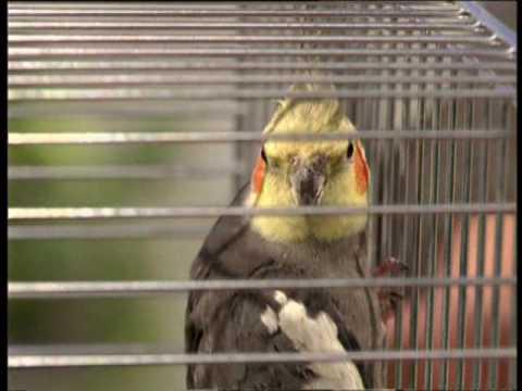 Выбор попугаев корелл
