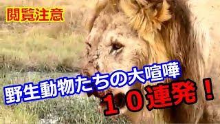 【閲覧注意】野生動物たちの大喧嘩10連発!▽10 Barrage Animal Battle h...