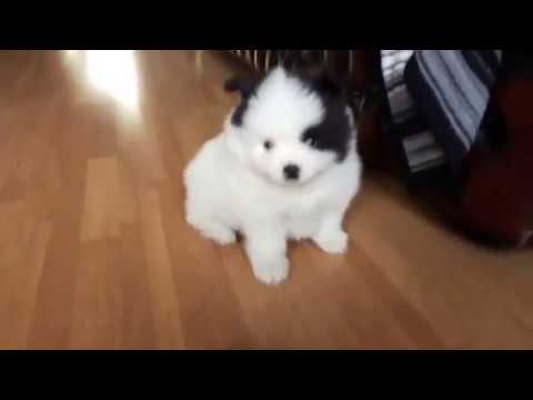 Teacup Pomeranian Puppies For Sale Youtube