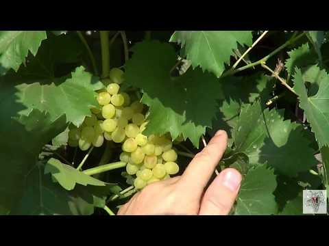 Сорт винограда Кишмиш 342. Виноград 2015.