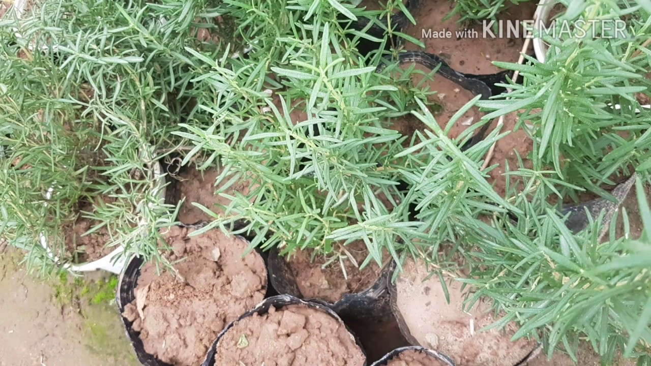 Bán cây hương thảo giá rẻ ở hà nội – Cây cảnh hải đăng