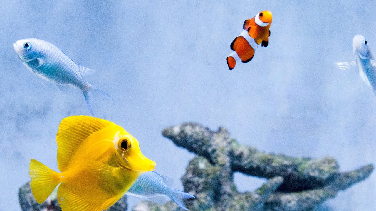 Relax nuvo 30 saltwater fish tank with clownfish yellow for Blue clown fish
