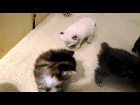 23 day old American Bobtail Kittens
