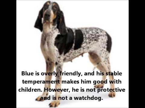 basset-bleu-de-gascogne-~-puppies-for-sale,-by-pets4you.com