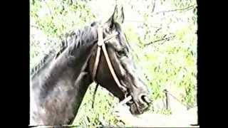 Ахал Текинская порода. Лошади России.
