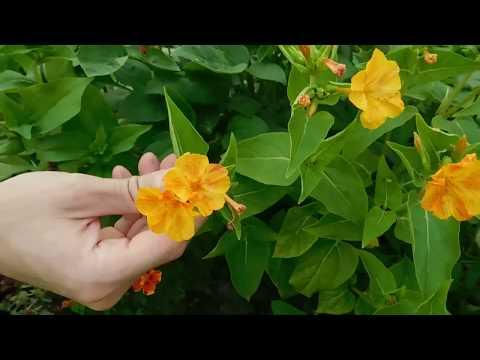 🌱Интересный способ выращивания Мирабилиса из черенка ( отростка ) 🌱