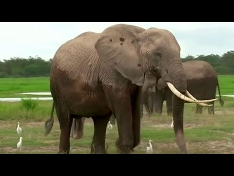 France 24:Elephants and sharks high on agenda at CITES wildlife convention in Geneva