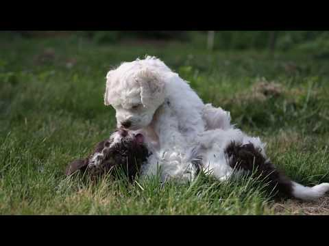 Lagotto puppies first time in the Truffiere