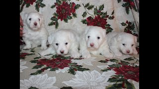 Coton Puppies For Sale - Emma 12/10/19