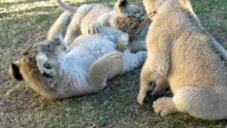 GoEco VOLUNTEER Trip Vlog - Baby Lion Cubs Playing at in South Africa
